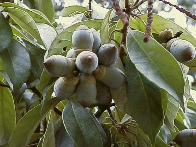 シリブカガシの画像 p1_36